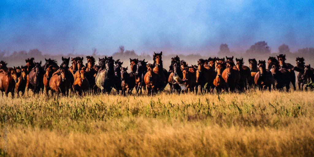 A herd of wild horses on the Danube delta charges, scaring up a pheasant